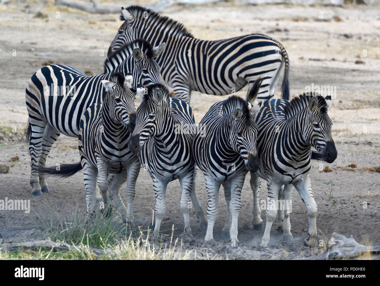 South Africa, a fantastic travel destination to experience third and first world together. Zebra stripes and patterns, Kruger Park. - Stock Image