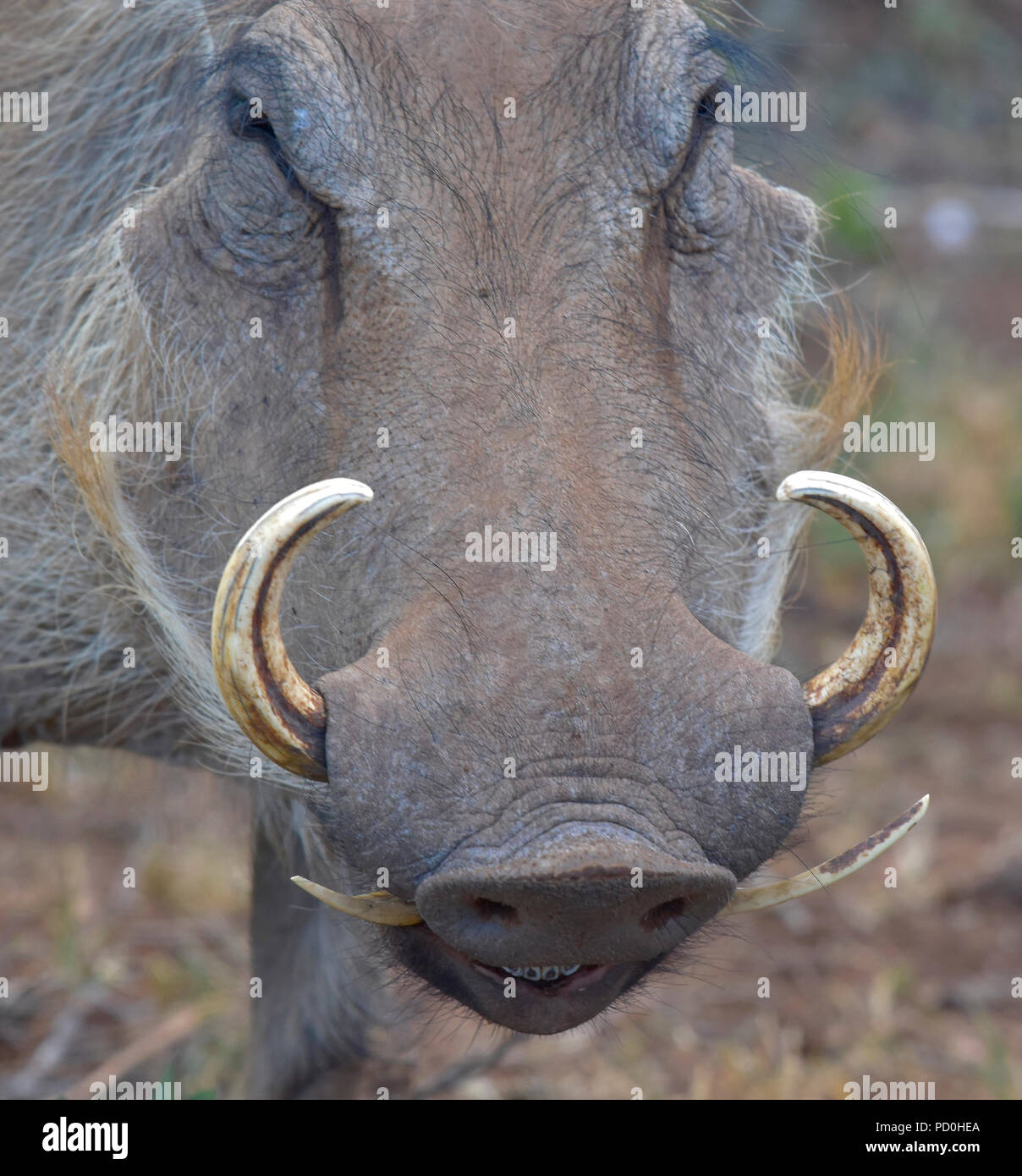 South Africa, a fantastic travel destination to experience third and first world together. Warthog close-up showing curved tusks. - Stock Image