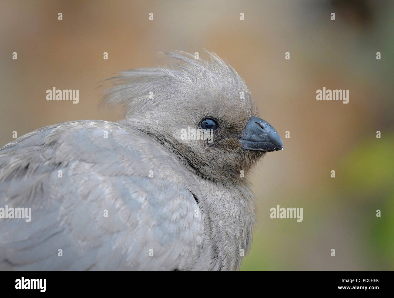 South Africa, a fantastic travel destination to experience third and first world together. Grey turaco close-up in Kruger National Park. Go away bird. - Stock Image