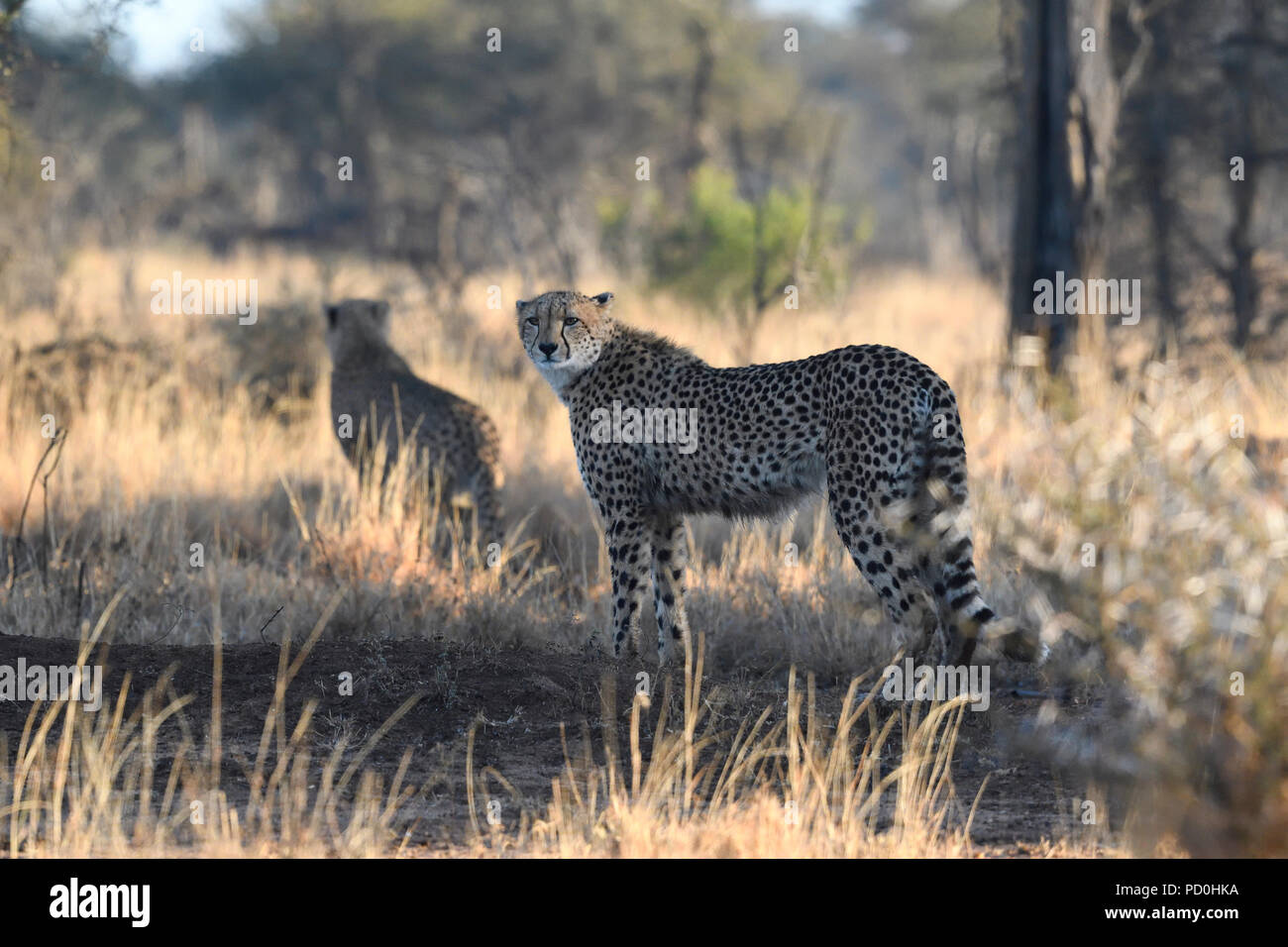 South Africa, a fantastic travel destination to experience third and first world together. Male cheetah on the hunt in burnt grass. Kruger Park. - Stock Image