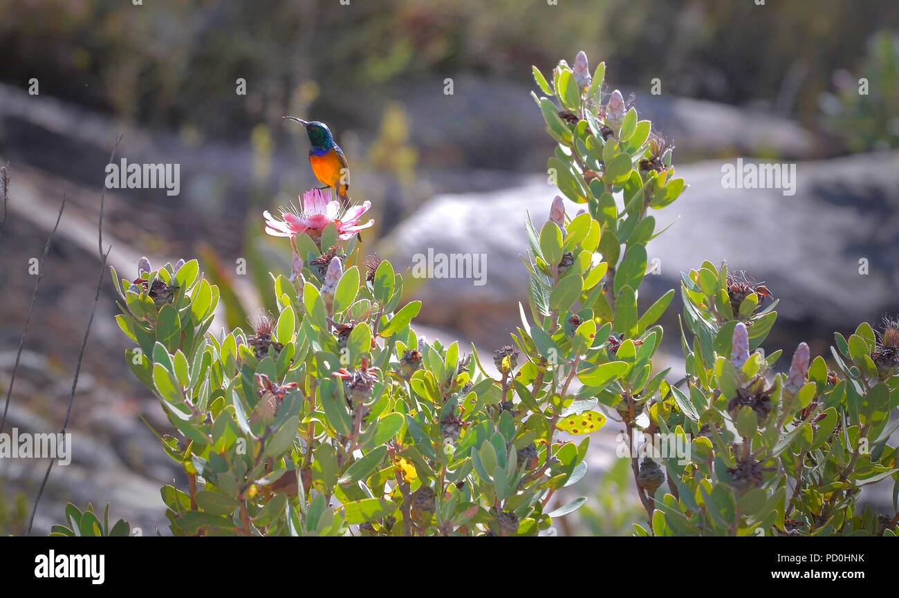 South Africa, a fantastic travel destination to experience third and first world together. Orange breasted sunbird on fynbos, Swartberg mountains. - Stock Image