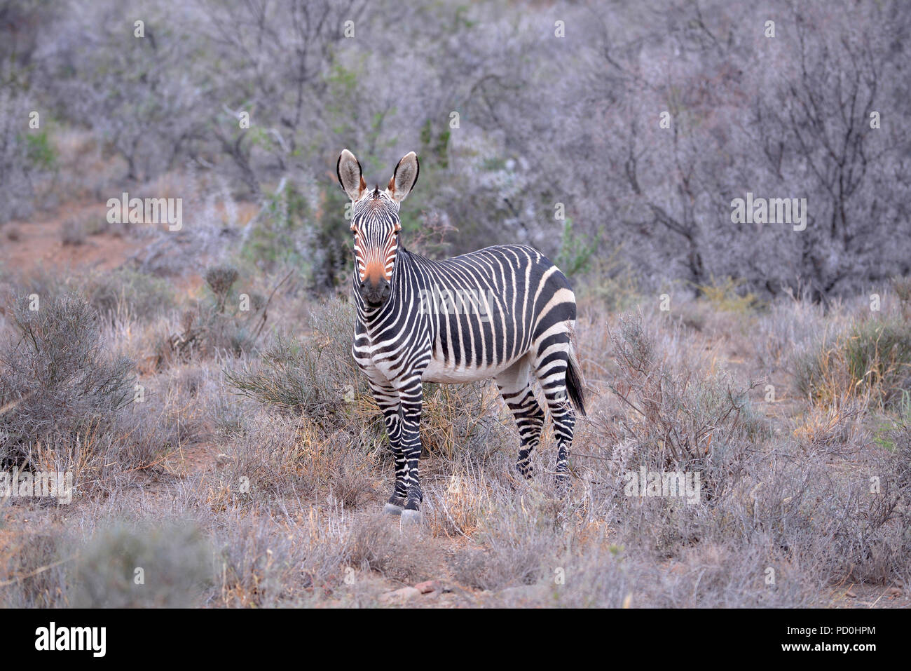 South Africa, a fantastic travel destination to experience third and first world together.Wet Cape mountain zebra among leafless thorn trees. Stock Photo