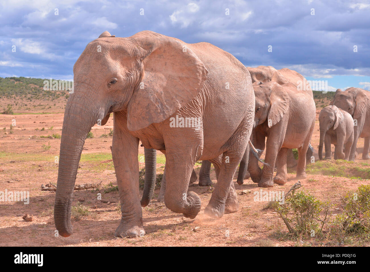 South Africa, a fantastic travel destination to experience third and first world together. Herd of elephants filing past tourists. Addo Elephant park. - Stock Image