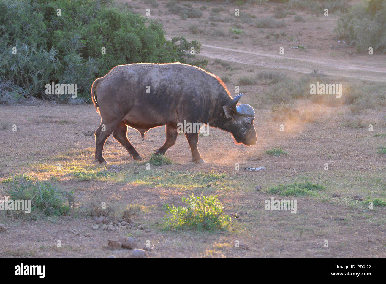 South Africa, a fantastic travel destination to experience third and first world together. Lone buffalo bull plodding at sunset. Addo Elephant park. - Stock Image