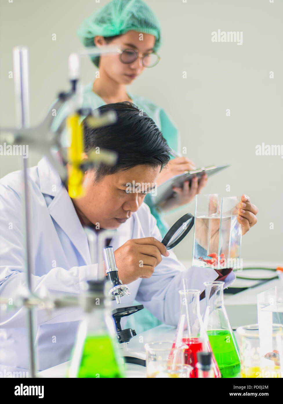 Veterinarian ,scientist or reseacher using magnifying glass to diagnose betta fish or Siamese fighting fish in fish tank with his female assistant not - Stock Image