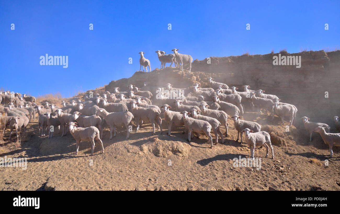 South Africa, a fantastic travel destination to experience third and first world together. Flock of shorn Merino sheep on hillside, Free State. - Stock Image