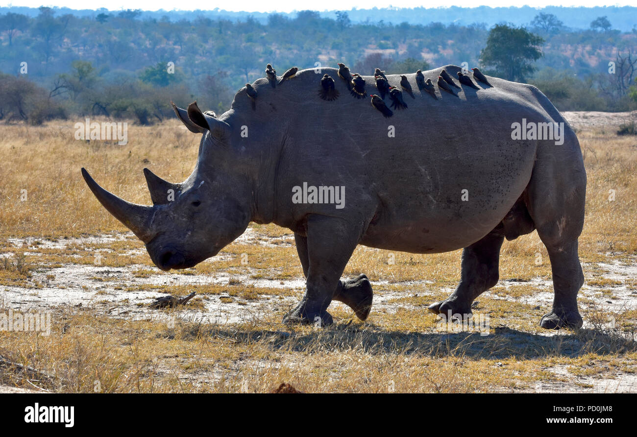 South Africa, a fantastic travel destination to experience third and first world together. White rhino bull covered in red billed oxpeckers. Symbiosis. - Stock Image