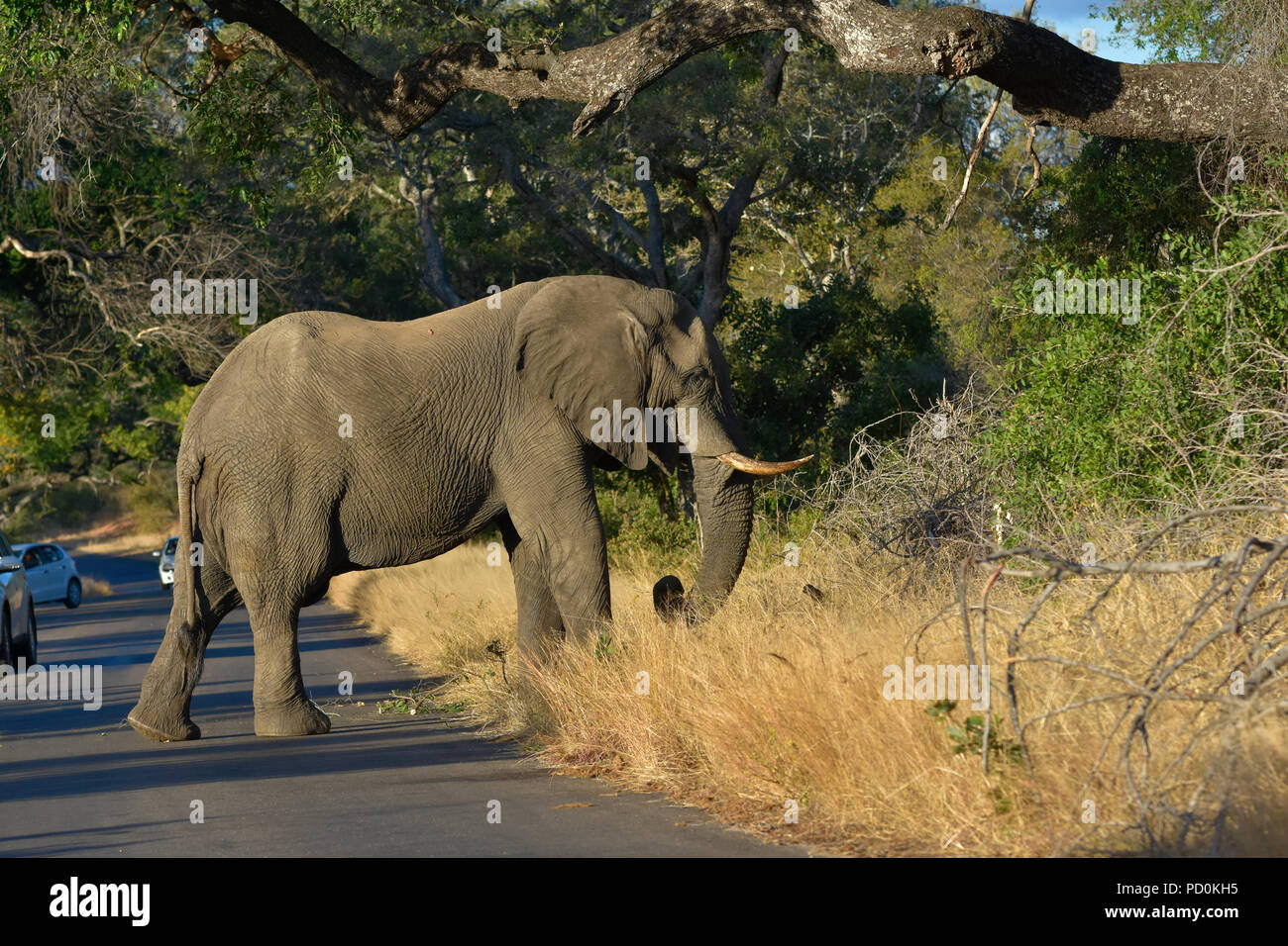 South Africa, a fantastic travel destination to experience third and first world together. Elephant bull road block in Kruger National Park. - Stock Image