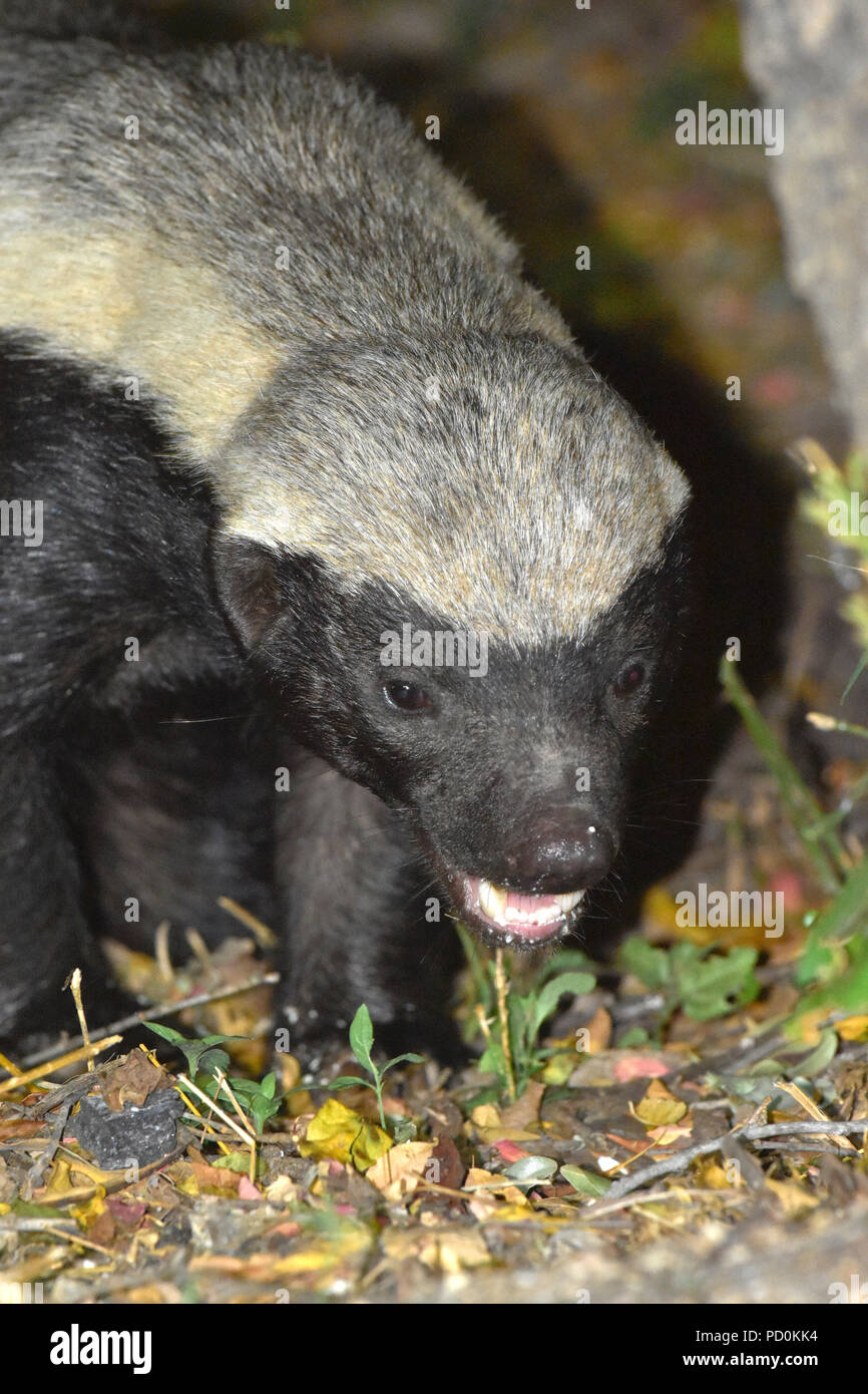 South Africa, a fantastic travel destination to experience third and first world together. Tough honey badger scavenging for food in Kruger Park. - Stock Image