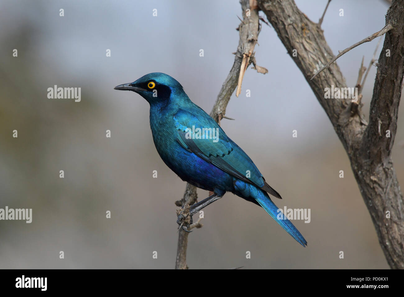 South Africa, a fantastic travel destination to experience third and first world together. Brilliant blue Cape glossy starling showing off its plumage. - Stock Image