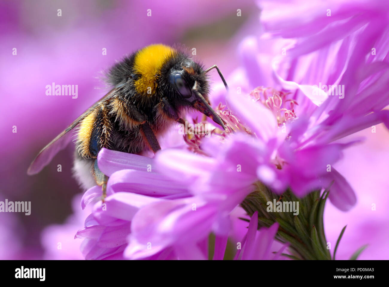 Macro yellow and black bumblebee (Bombus terrestris) feeding on flower of aster - Stock Image