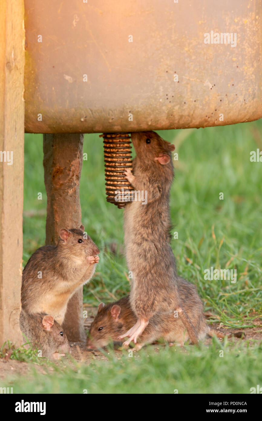 A group of Brown rats(Rattus norvegicus)  gather around a game feeder on farmland North Norfolk. - Stock Image