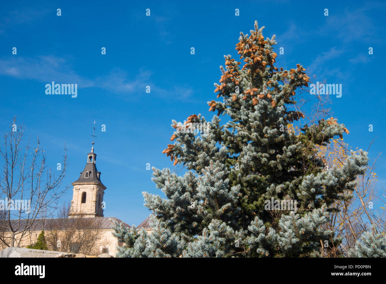 El Paular monastery and blue spruce. Rascafria, Madrid province, Spain. - Stock Image