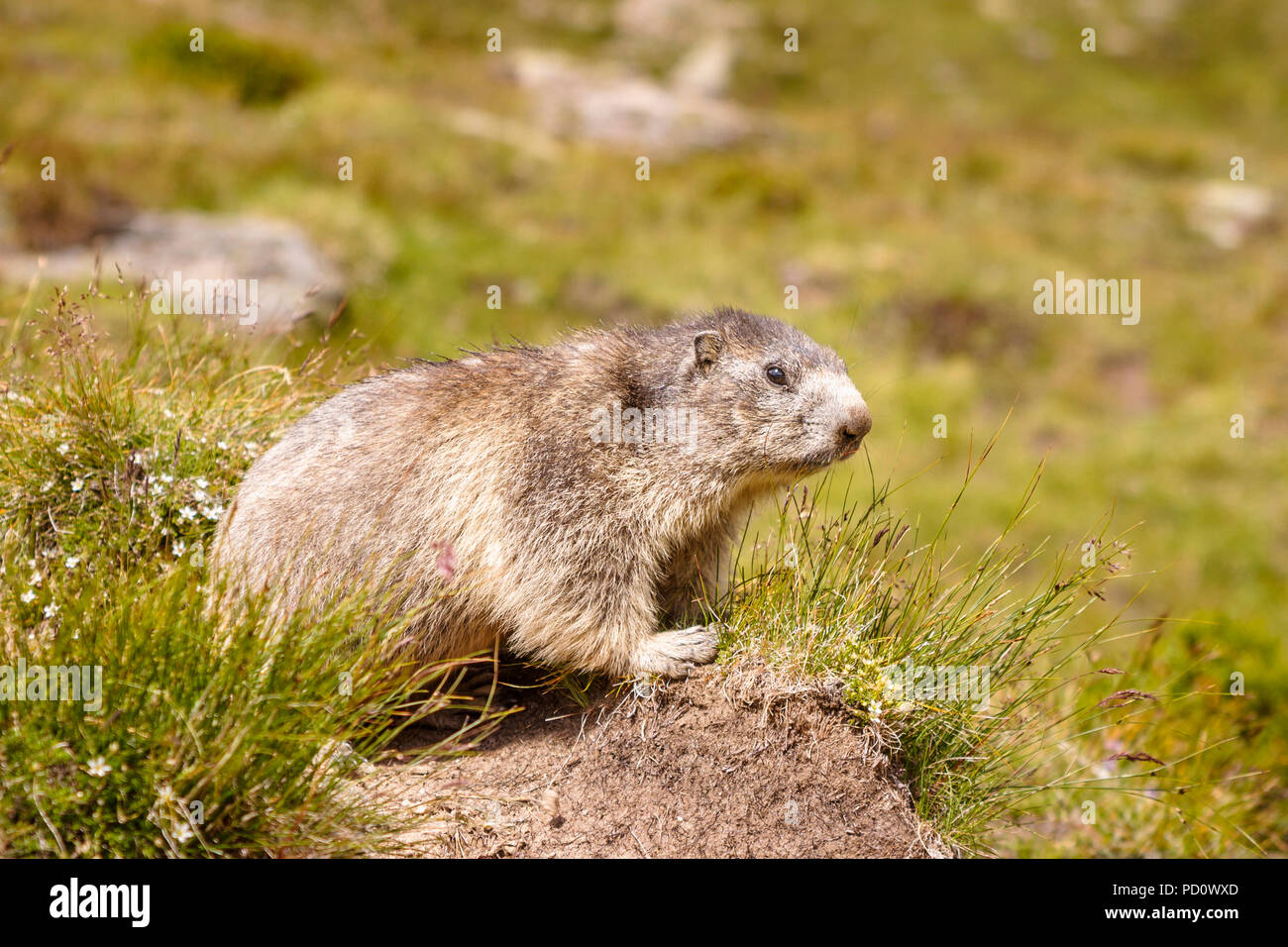 Alpine marmot (Marmota marmota) on a grass tussock in Saas Fee in the Saastal (Saas Valley) in the canton of Valais, Switzerland Stock Photo