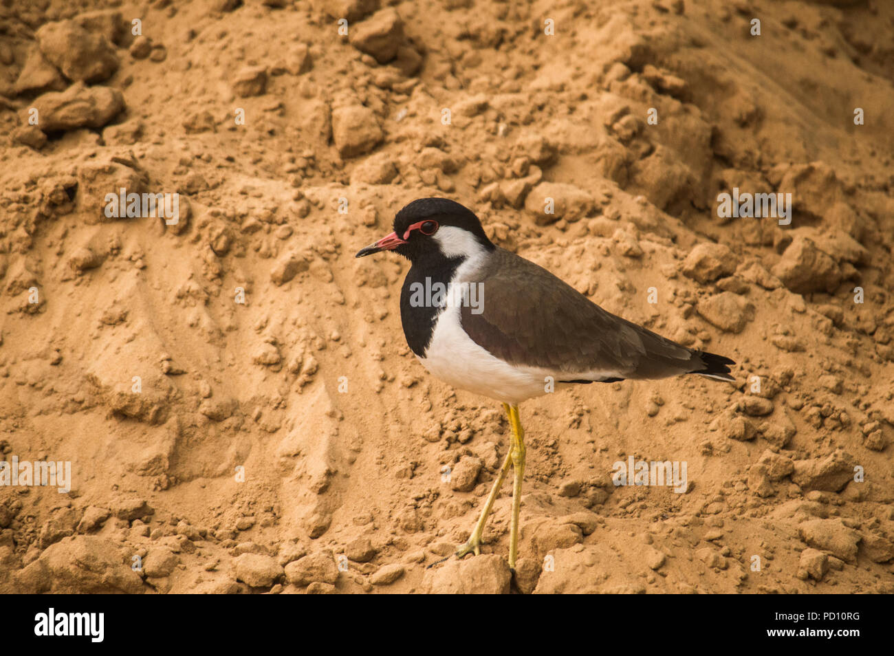 Red-wattled Lapwing (Vanellus indicus) in Central Park, Rambagh, Jaipur, Rajasthan, India - Stock Image
