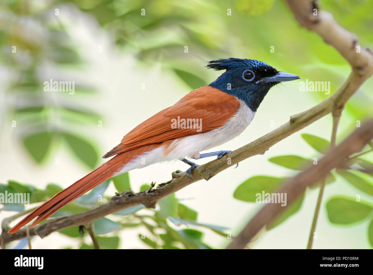 Asian Paradise-flycatcher - Terpsiphone paradisi, beautiful black headed passerine bird from Sri Lankan woodlands and gardens. - Stock Image
