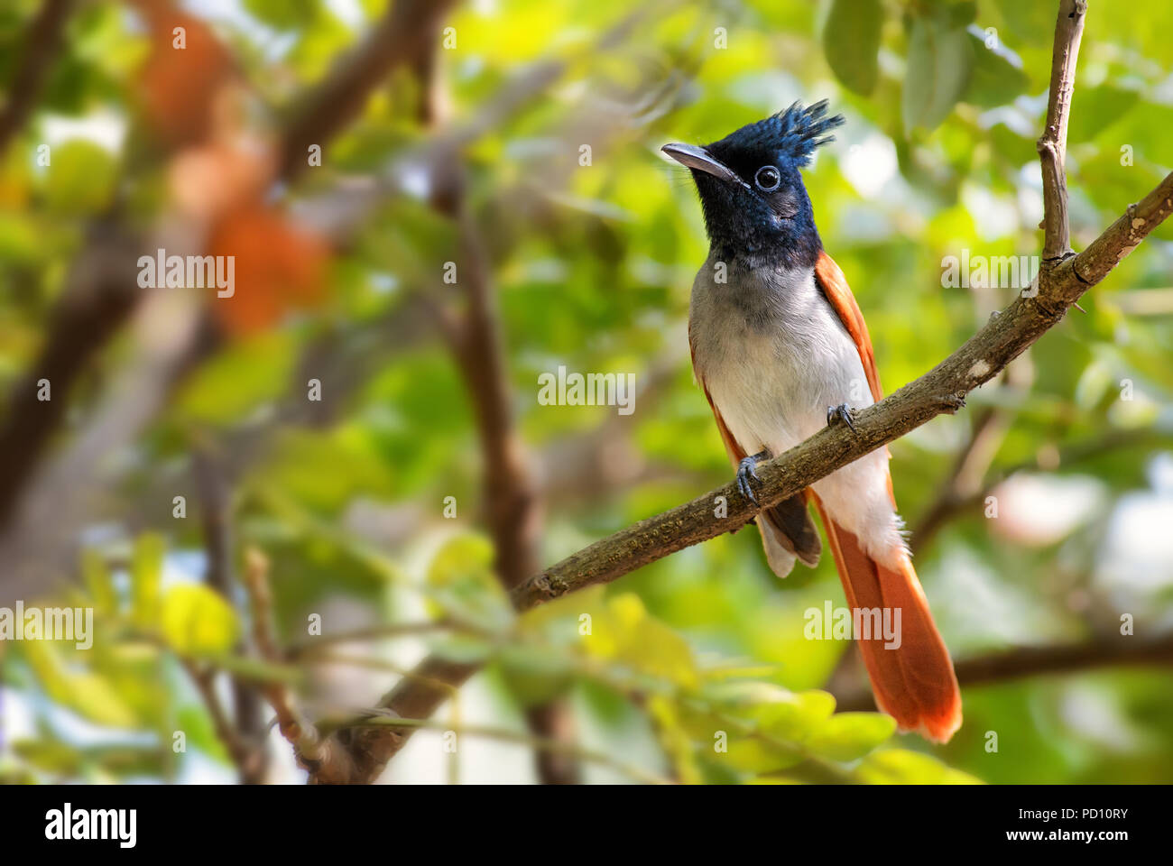Asian Paradise-flycatcher - Terpsiphone paradisi, beautiful black headed passerine bird from Sri Lankan woodlands and gardens. Stock Photo