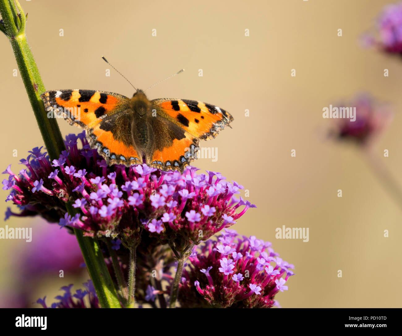 Tortoise Shell Butterfly resting on a purple Verbena bonariensis flower. - Stock Image