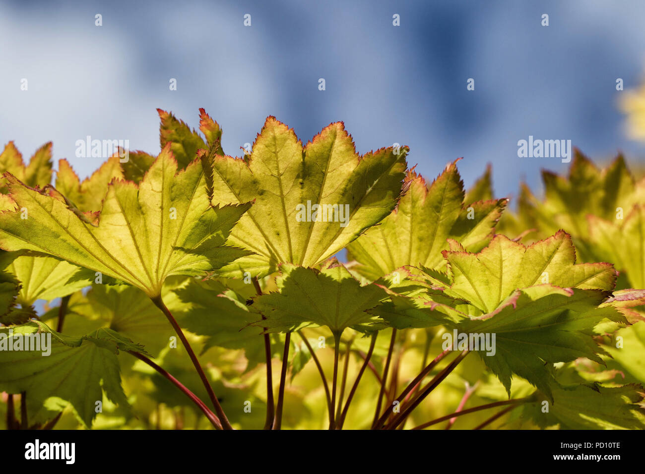 Green and yellow Acer leaves with blue sky and white clouds in the background. - Stock Image