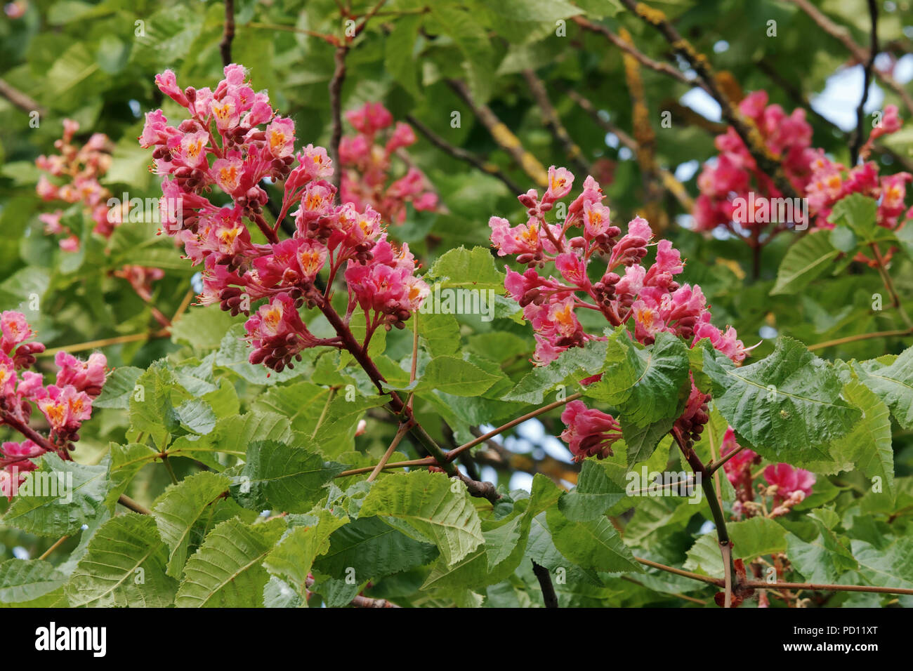 red horse chestnut, detail of flowers and leaves, april, italy - Stock Image