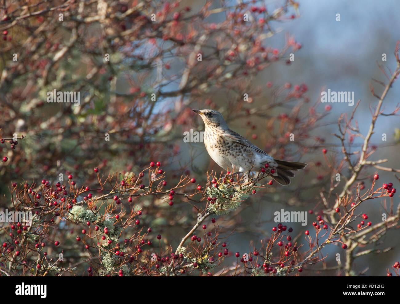 Fieldfare, Turdus pilaris, single adult perching on Hawthorn tree. Taken October. Isle of Islay, Argyll, Scotland, UK. - Stock Image