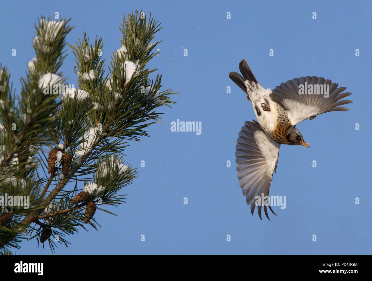Fieldfare, Turdus pilaris, single adult flying off conifer tree. Lea Valley, Essex, UK. - Stock Image