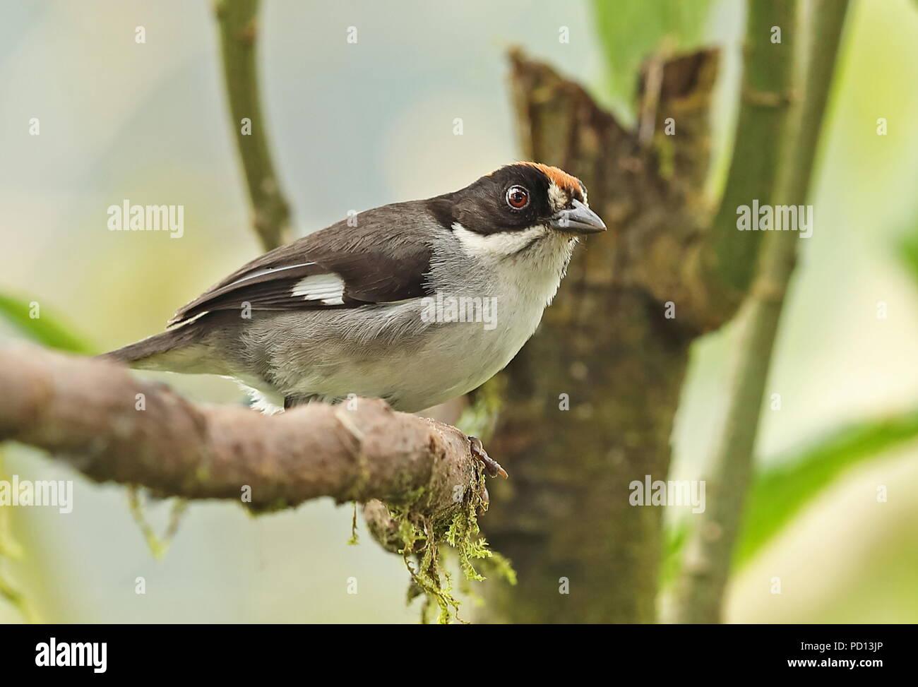 White-winged Brush-finch (Atlapetes leucopterus leucopterus) adult perched on branch  Nono-Mindo road, Ecuador                  February - Stock Image