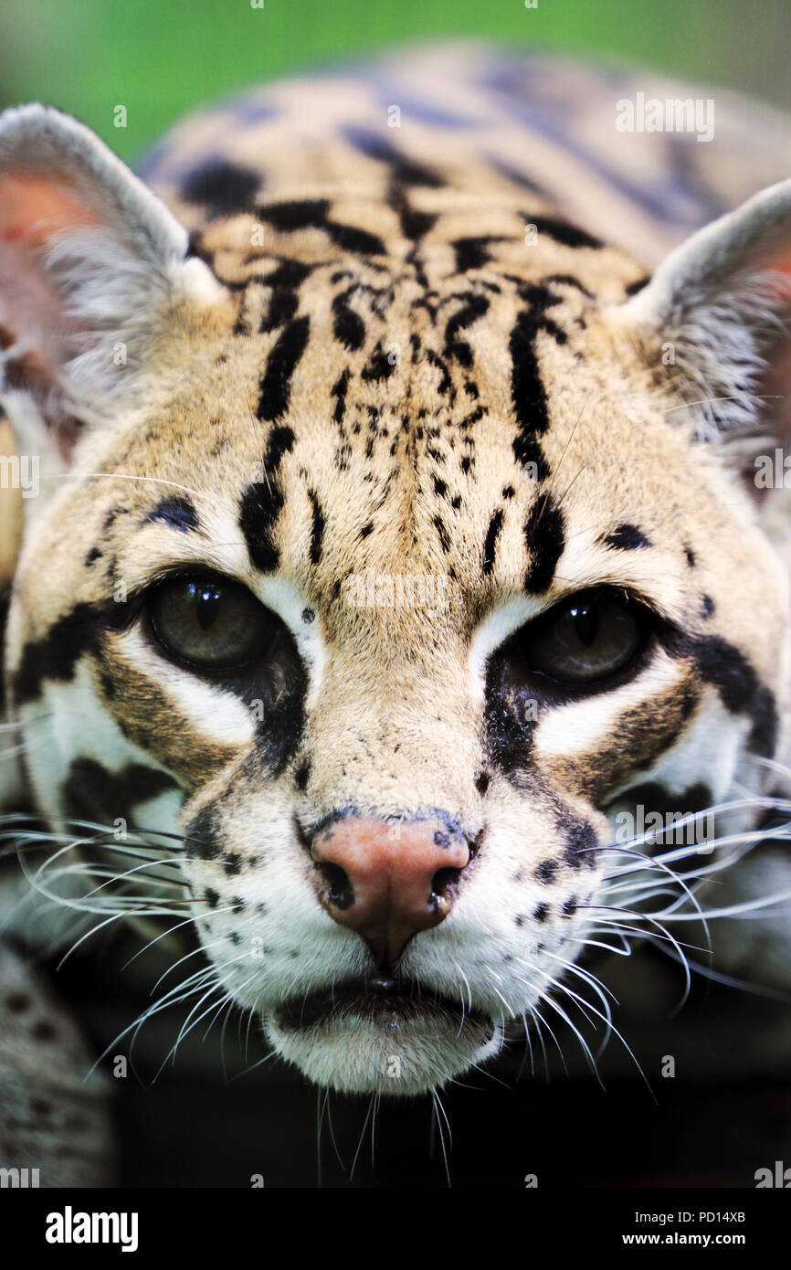 A Ocelot staring, Bergen County Zoo, Paramus, NJ - Stock Image