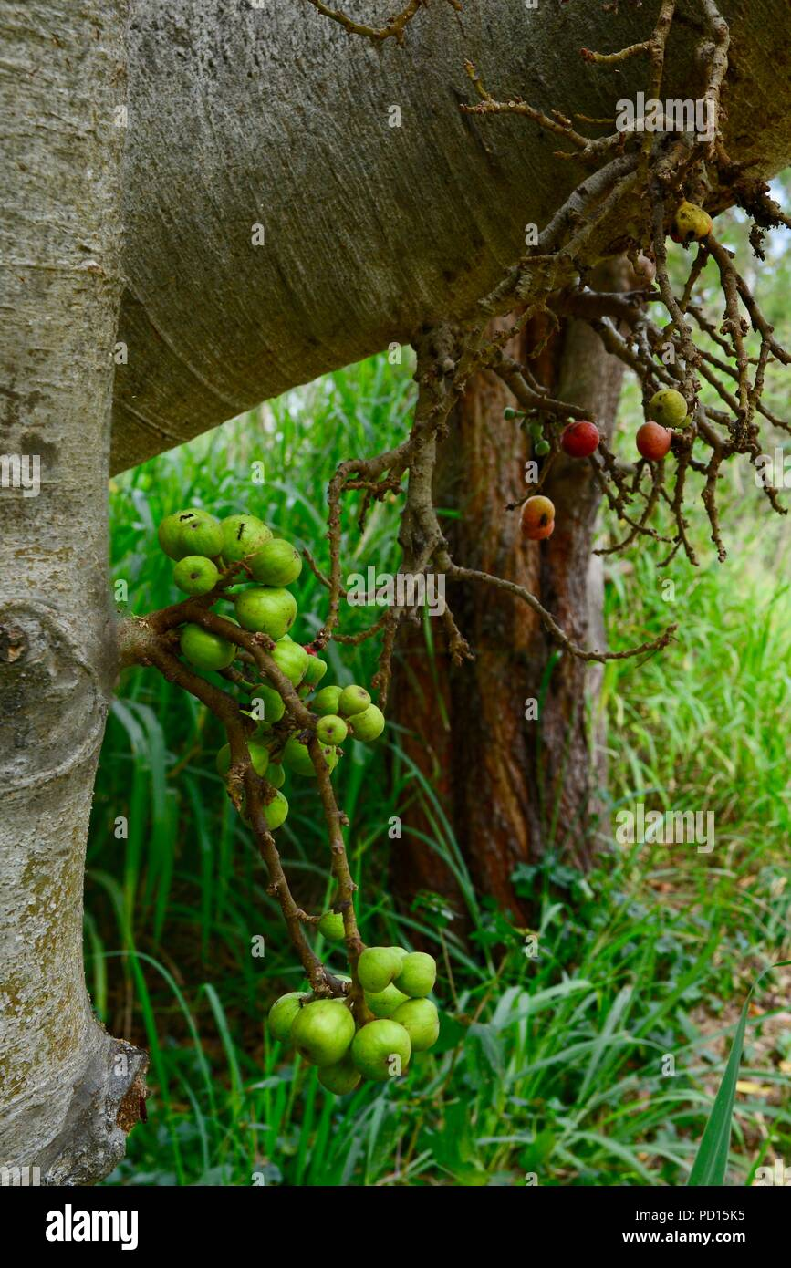 Figs growing on a tree trunk, Booroona walking trail on the Ross River, Rasmussen QLD 4815, Australia Stock Photo