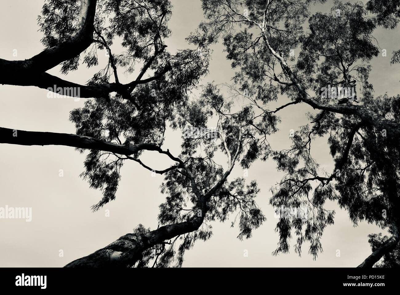 Tea trees in black and white looking up into the canopy, Booroona walking trail on the Ross River, Rasmussen QLD 4815, Australia - Stock Image