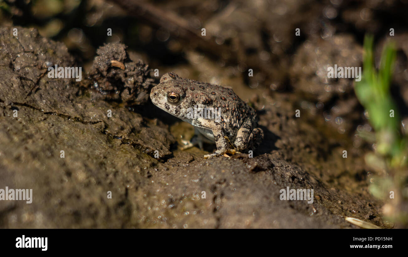 Red Spotted Toad, Anaxyrus punctatus, Jefferson County, Colorado USA August 4 2018 - Stock Image