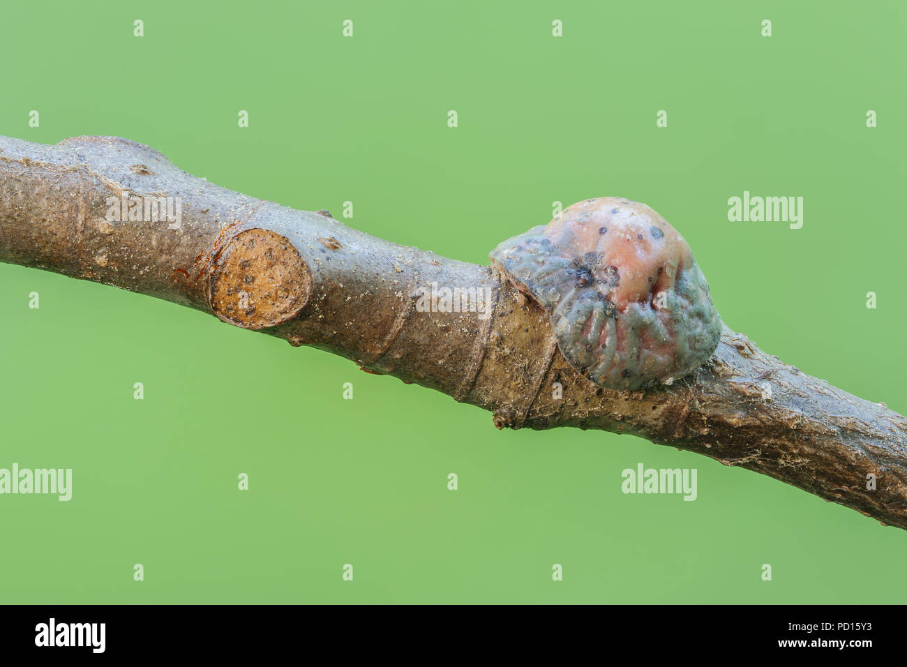 A mature female Tuliptree Scale (Toumeyella liriodendri) attached to a branch of a Tuliptree, which also shows a previous attachment point. - Stock Image