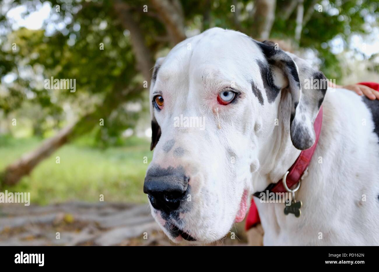 White and black great dane dog with heterochromia, Booroona walking trail on the Ross River, Rasmussen QLD 4815, Australia - Stock Image