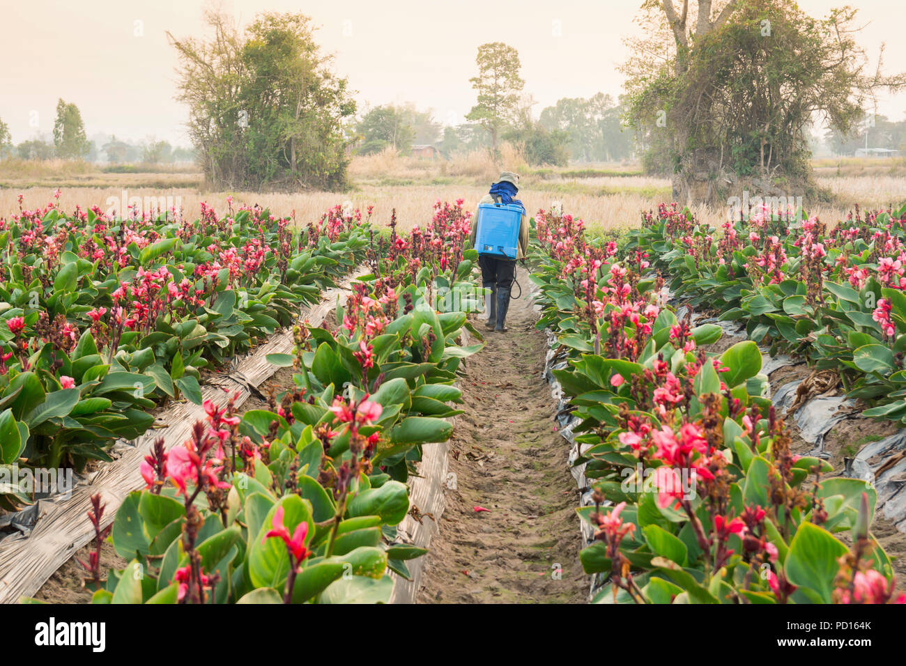 planter spraying pesticide in partition Canna at sunset. - Stock Image