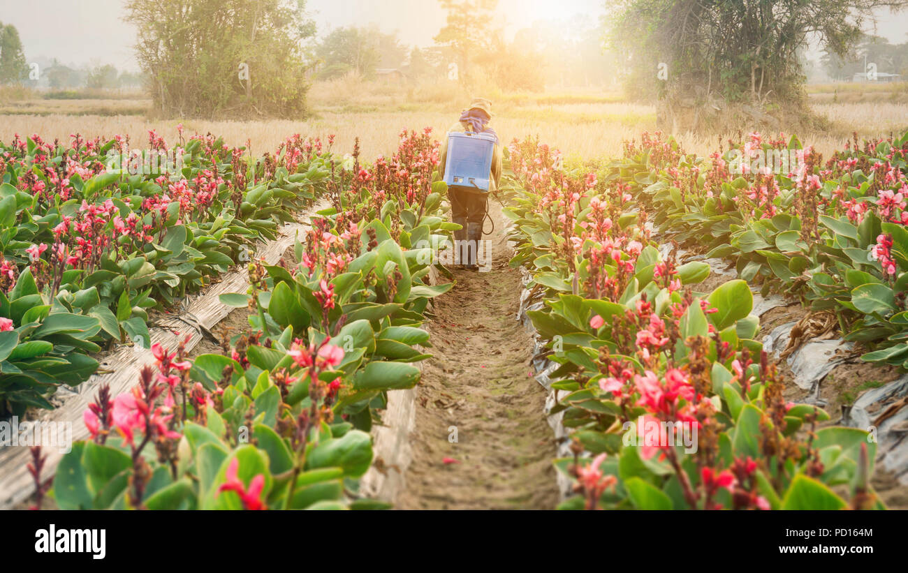 planter spraying pesticide in partition Canna at sunset. Stock Photo