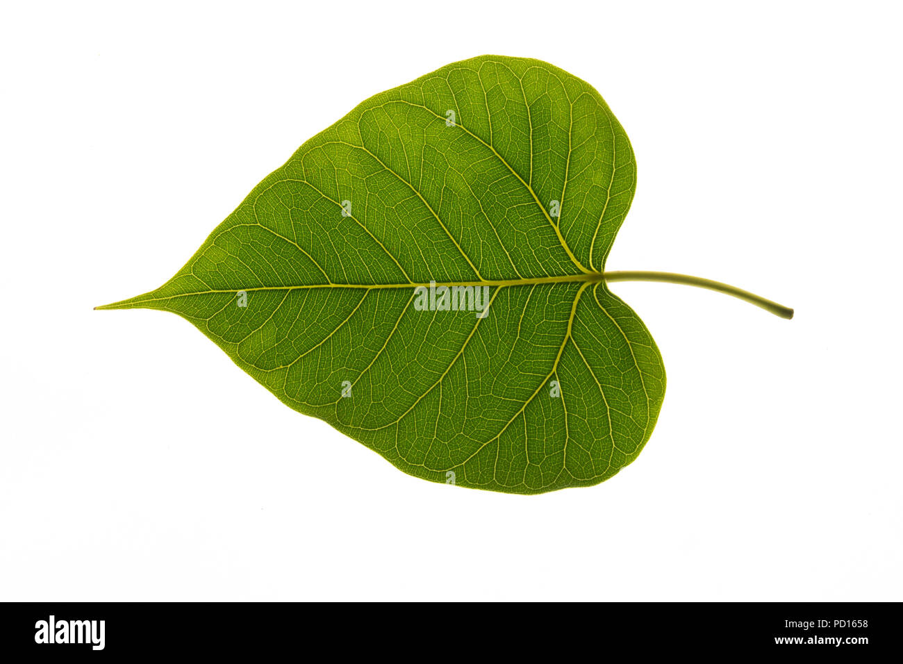 Texture of a bodhi leaves on a white background. Stock Photo