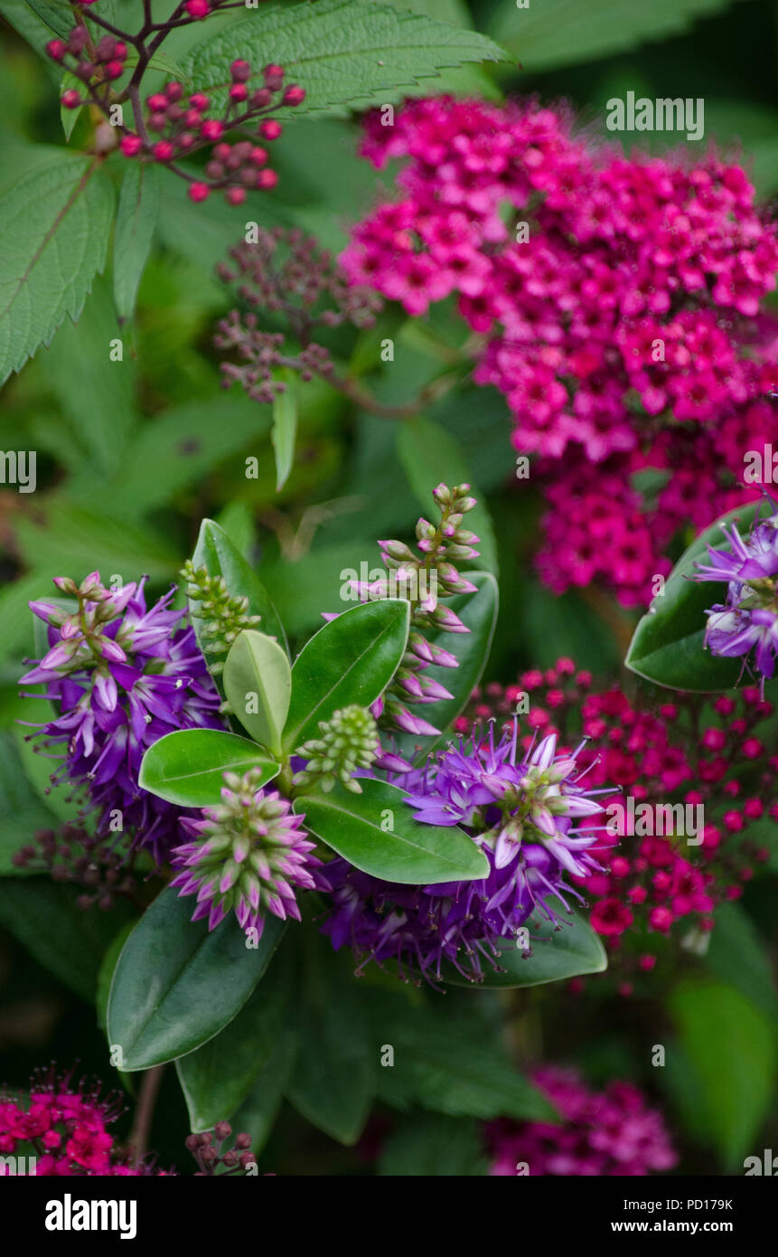 pretty pink Sweet William plants and purple Hebe flowers - Stock Image