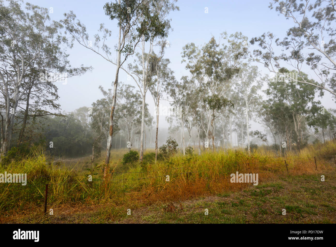 Morning mist in gum trees, Biboorah, Atherton Tablelands, Far North Queensland, FNQ, QLD, Australia - Stock Image