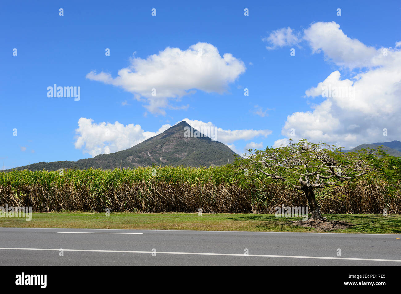 Sugarcane crop in front of Walsh's Pyramid, Gordonvale, Far North Queensland, FNQ, QLD, Australia - Stock Image