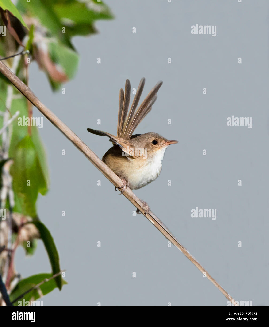 Female Red-backed Fairy-wren (Malurus melanocephalus) perched on a twig, Biboohra, Atherton Tableland, Far North Queensland, FNQ, QLD, Australia Stock Photo