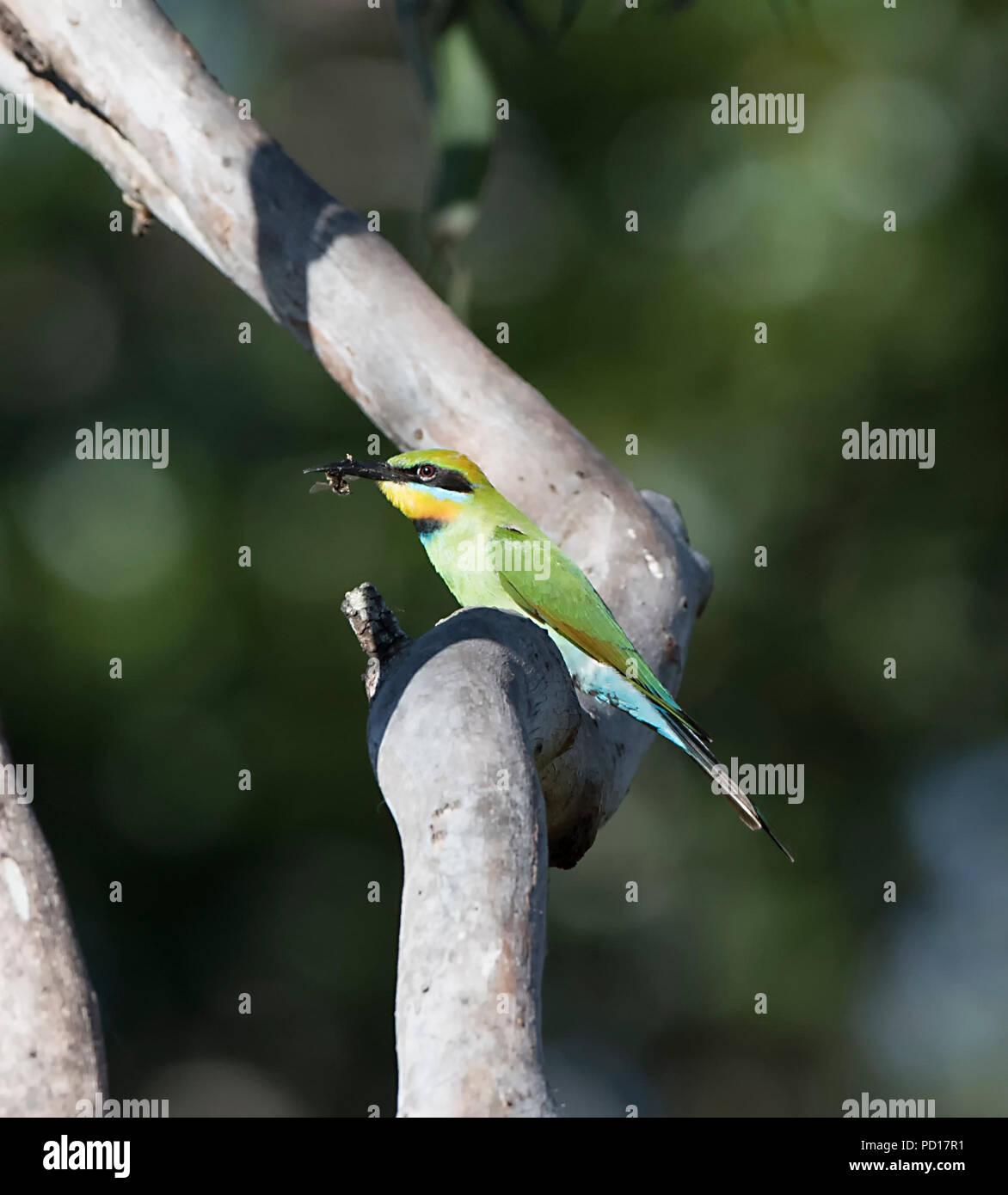 Rainbow Bee-eater (Merops ornatus) with insect in beak, Biboohra, Atherton Tableland, Far North Queensland, FNQ, QLD, Australia - Stock Image