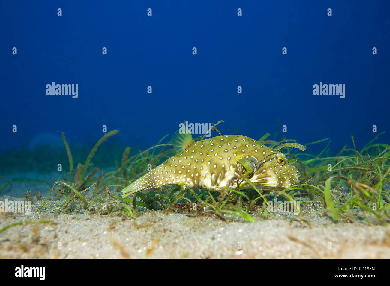 White-spotted Puffer (Arothron hispidus) at seagrass, Dumaguete, Negros, Philippines - Stock Image
