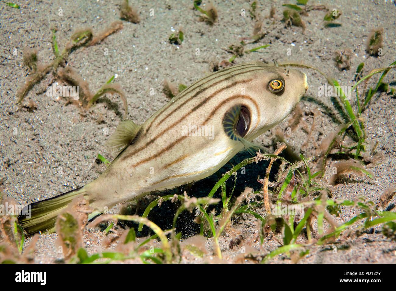 Manila-Kugelfisch (Arothron manilensis), Dumaguete, Negros, Philippinen | Manila puffer (Arothron manilensis), Dumaguete, Negros, Philippines Stock Photo