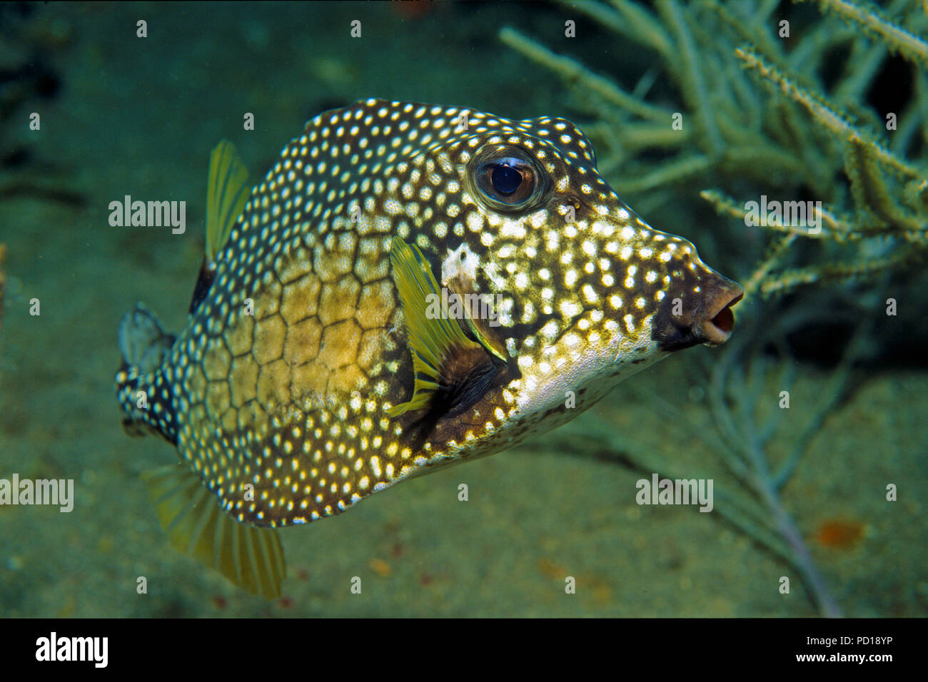 Perlen-Kofferfisch (Lactophrys triqueter), Curacao   Smooth Trunkfish (Lactophrys triqueter), Curacao - Stock Image