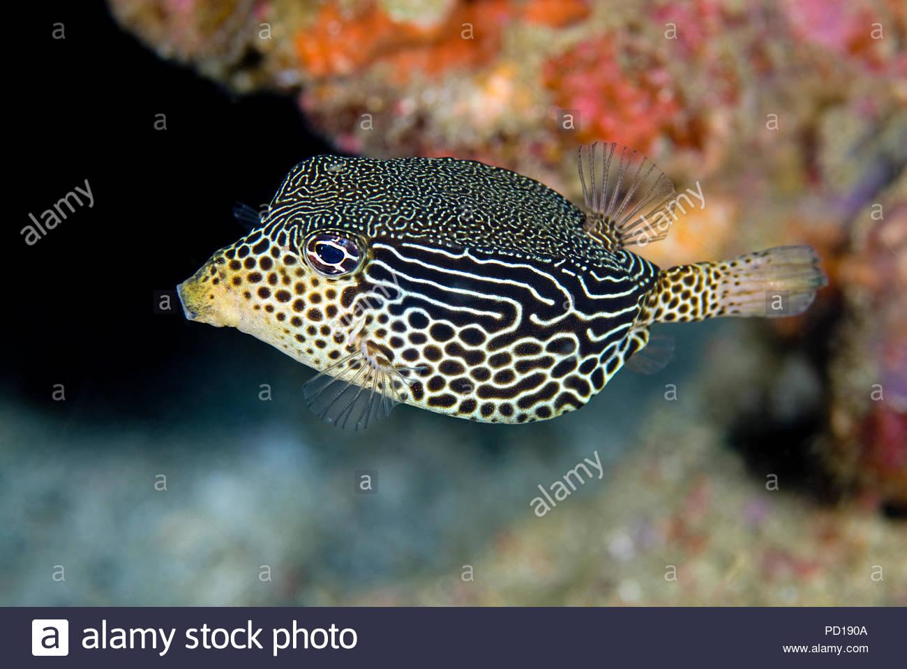 Reticulate Boxfish (Ostracion solorensis), Sabang Beach, Mindoro island, Philippines - Stock Image