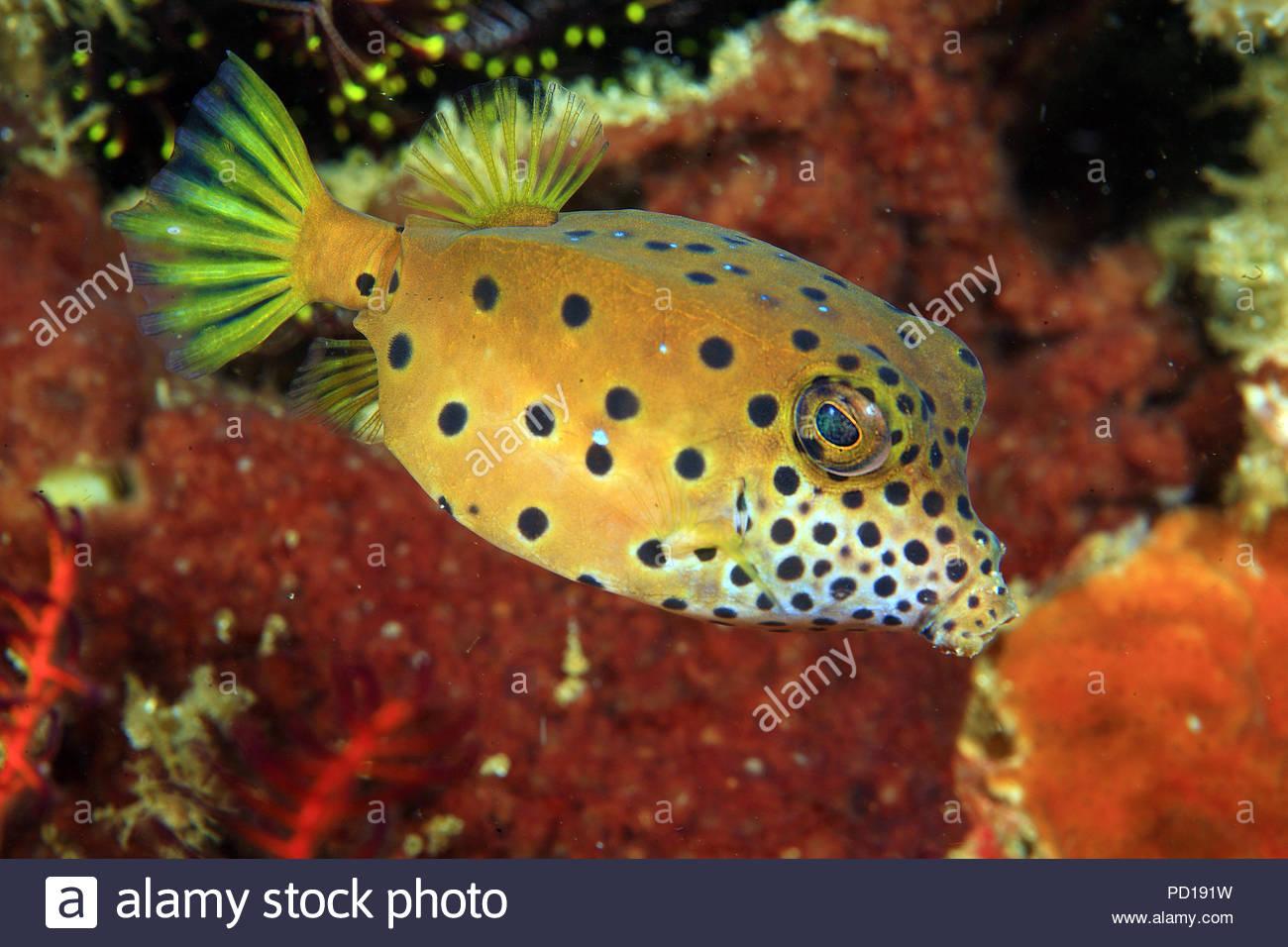 Gelbbrauner Kofferfisch (Ostraciidae), Bali, Indonesien | Yellow Boxfish (Ostraciidae), Bali island, Indonesia - Stock Image