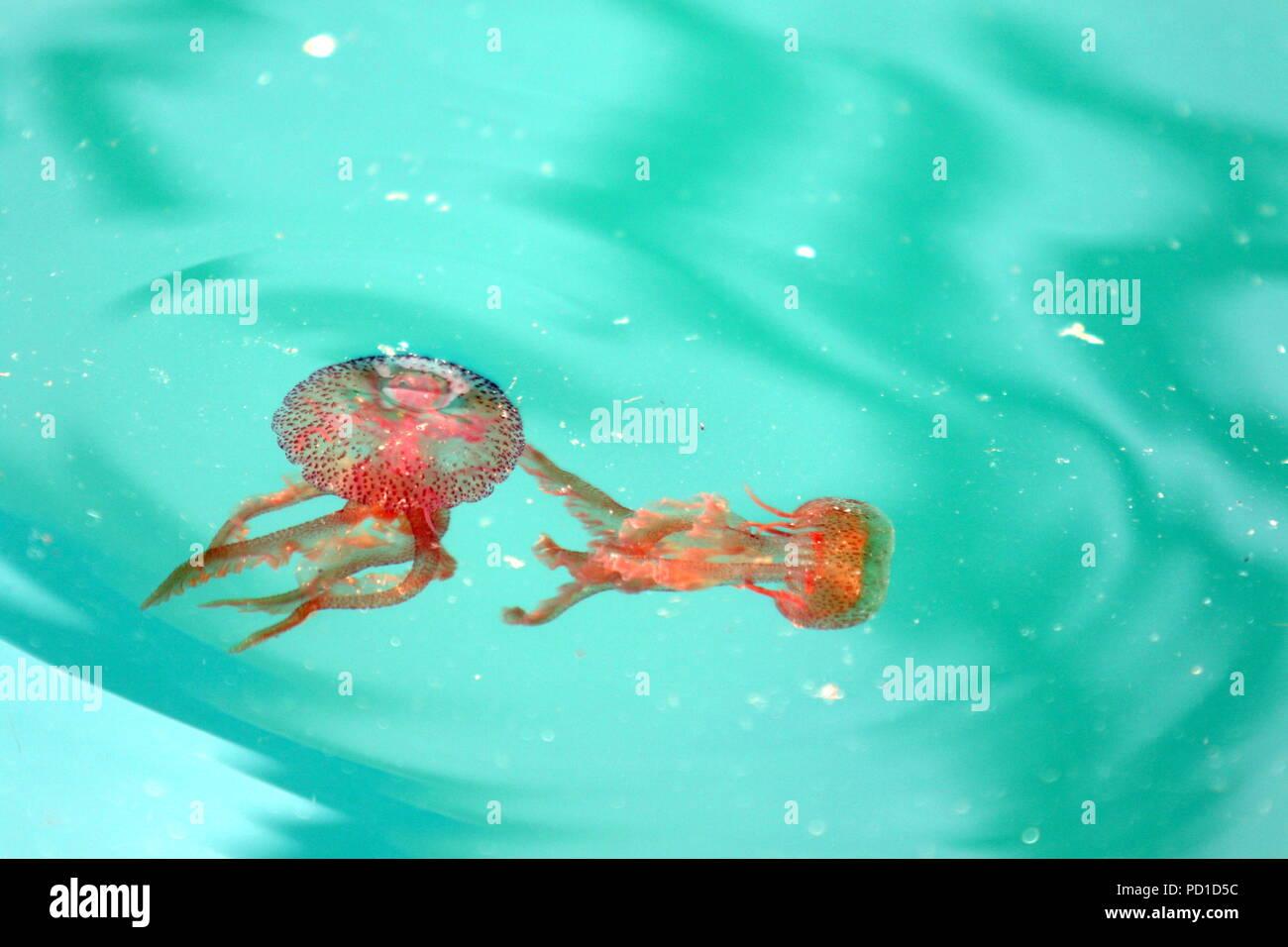 Jellyfish Plague Stock Photos & Jellyfish Plague Stock Images - Alamy