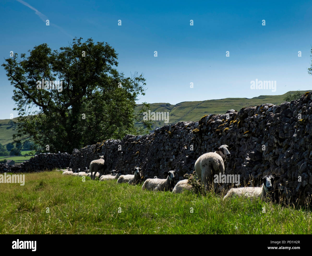 Littondale, Yorkshire Dales, UK 5th August 2018. Sheep hide in the shade of a dry stone wall on another hot day in Yorkshire (c) Paul Swinney/Alamy Live News - Stock Image