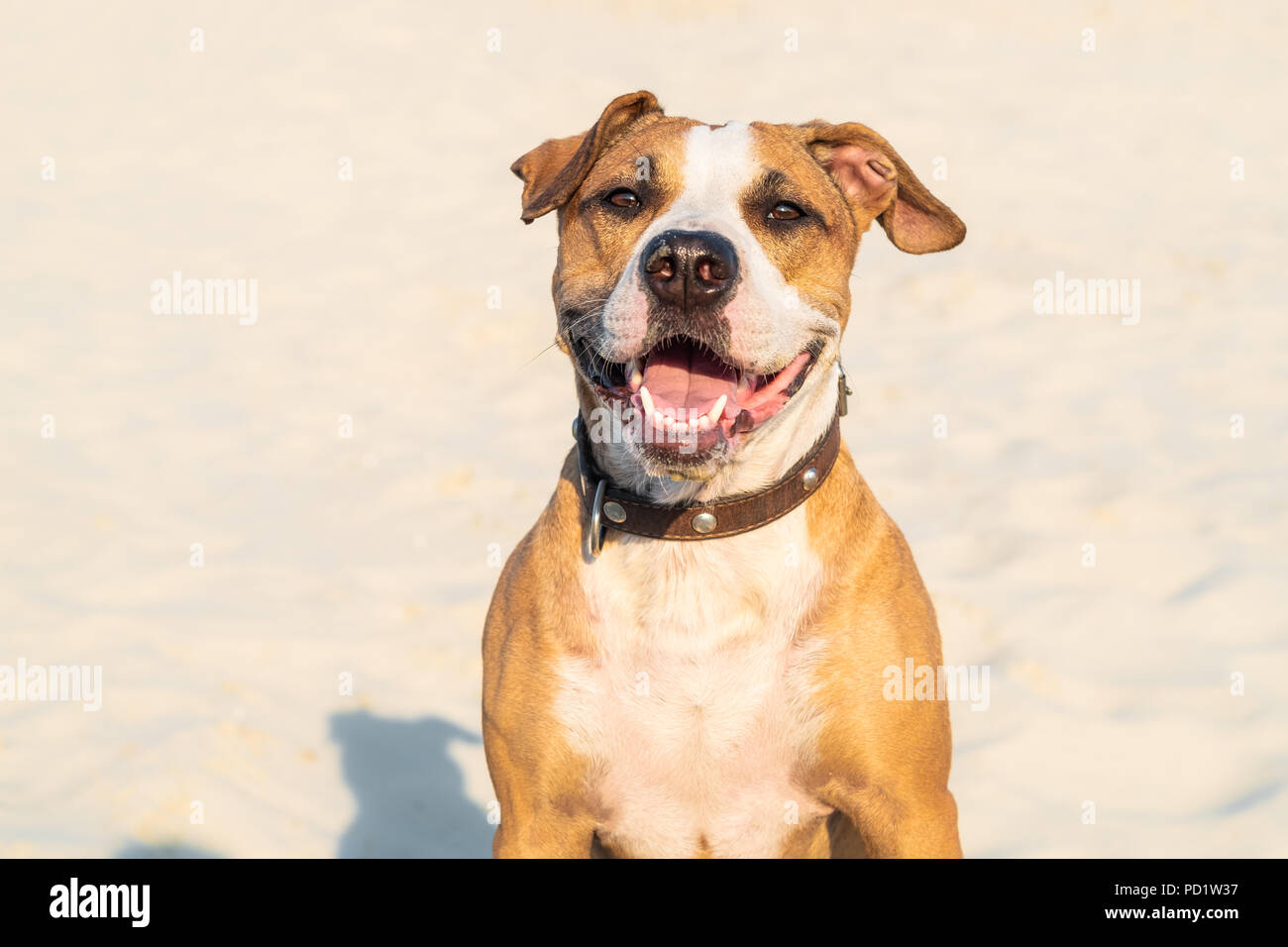 Cheerful kind dog sits in sand outdoors. Cute staffordshire terrier puppy in sandy beach or desert on hot summer day - Stock Image
