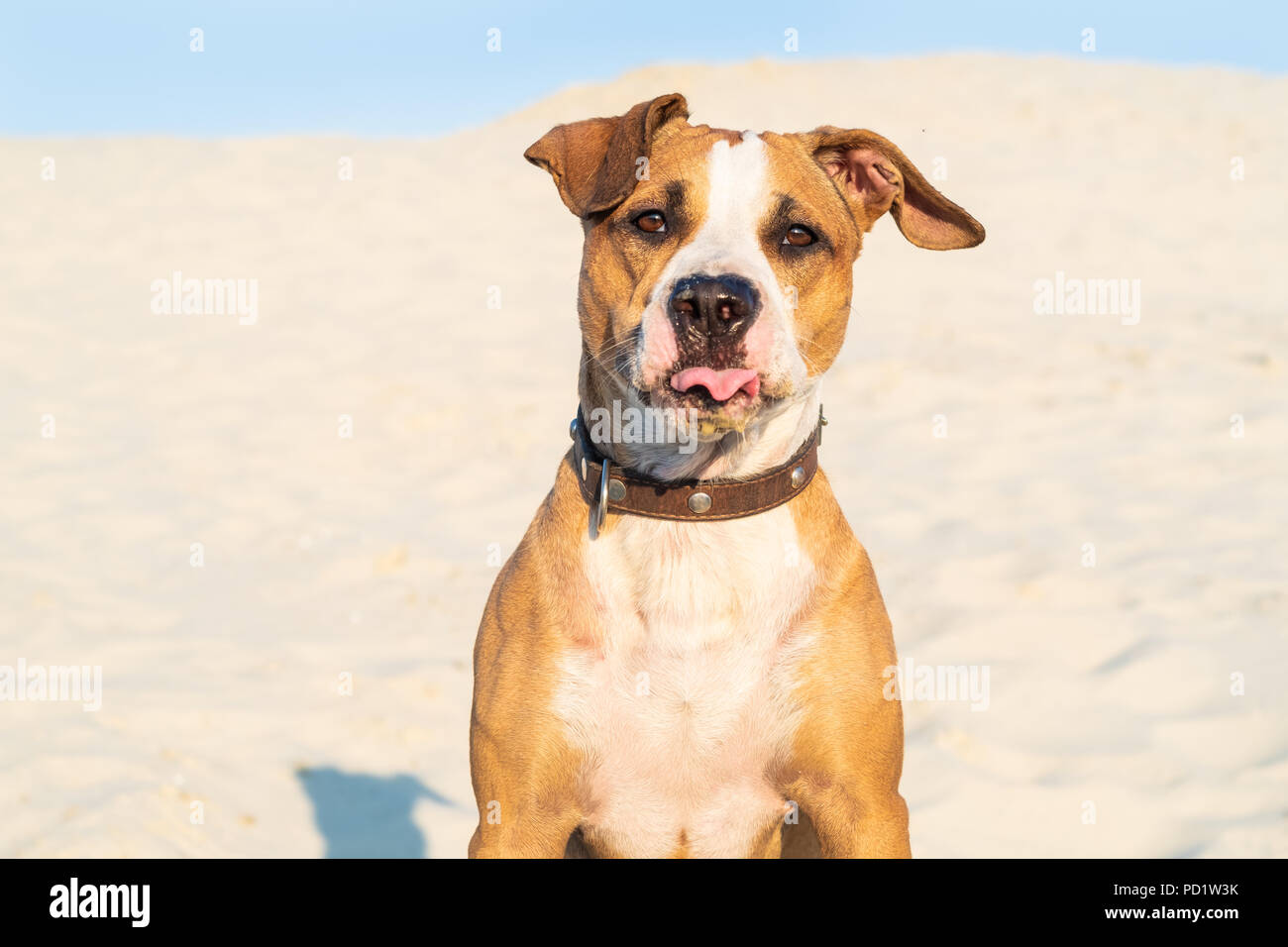 Funny dog sits in sand outdoors with tongue out. Cute staffordshire terrier puppy in sandy beach or desert on hot summer day - Stock Image